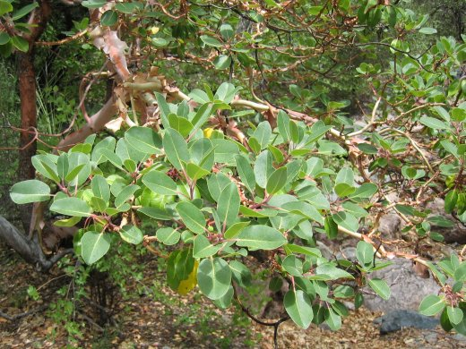 Bladverk hos Arbutus xalapensis i Chisos Mountains, Texas 2007.