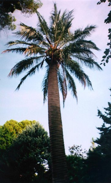 Jubaea chilensis in Rome 1997.