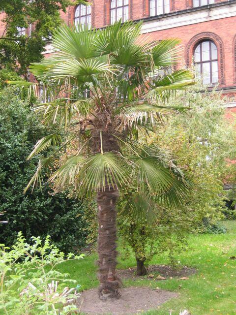 odla palmer i sverige