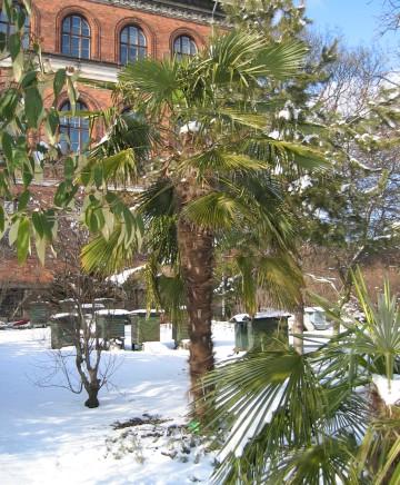 plantera palm i sverige
