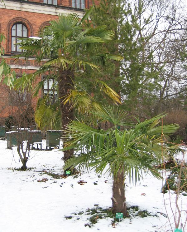 palmträd i sverige