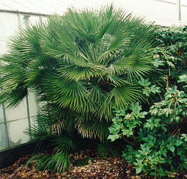 Chamaerops humilis in Kew Gardens, London, October 1997.